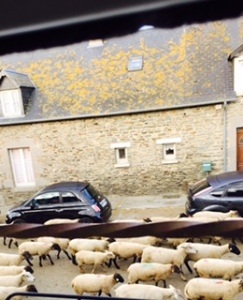 Mont St Michel sheep running past our room early next morning. This is a rural paradise