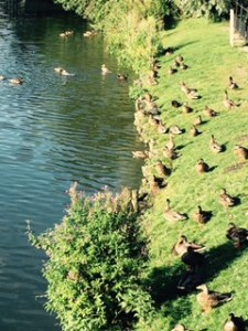 The duck army on the Avon River in Chippenham Wiltshire