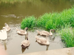 swan and cygnets on the Wylye River at Wilton House