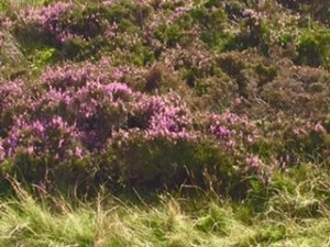Close up of the heath in the Yorkshire dales