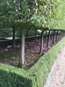 cyclamens and Lime trees in Harewood garden